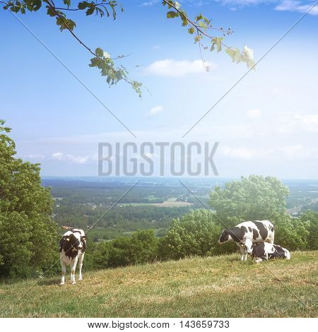 Cows on a Swedish meadow in Summer