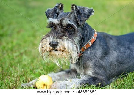 adorable miniature schnauzer lying down outdoors with apple close up