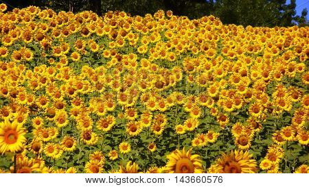 an image of sunflower representing the sun's power on earth. it can be seen