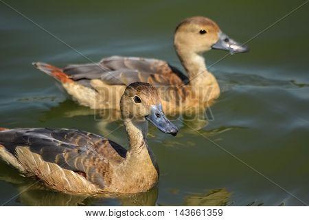 two ducks swim funny in the pool