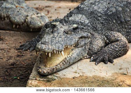 the fierce crocodile sleep and smile happily