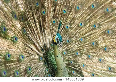 the peacock spread beautiful tail-feathers in nature