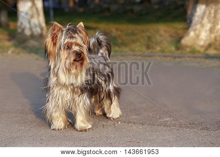 dog breed Yorkshire Terrier is walking outdoors