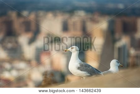 Seagulls in the old fortress stone wall
