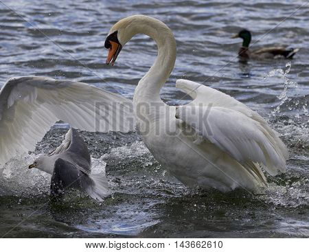 Amazing image with the swans and a gull