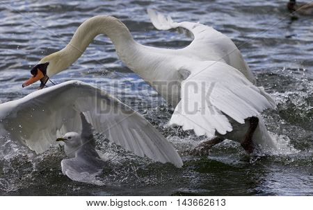 Amazing expressive picture with the swans and a gull