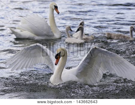 Beautiful photo of the swans with the chicks