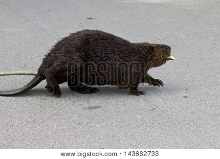 Isolated photo of the strong Canadian beaver walking