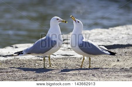 Cute pair of gulls on the shore