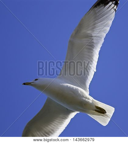 Beautiful isolated image with a flying gull