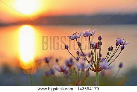 Flowering rush (Butomus umbellatus) at sunset, close up