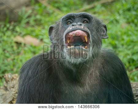 close up of a male chimpanzee laughing