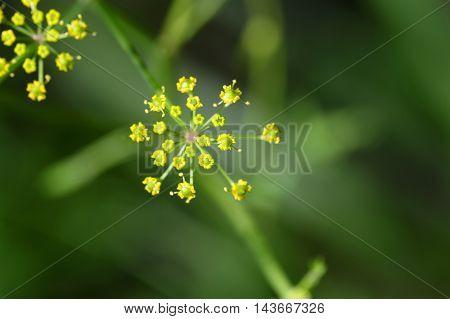 Macro photo of a wild parsnip flower (Pastinaca sativa)
