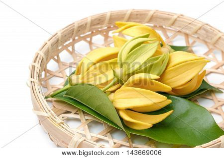 Ylang-Ylang flowerYellow fragrant flower on a white background