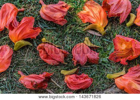 Spathodea campanulata or fountain tree flowers on the ground