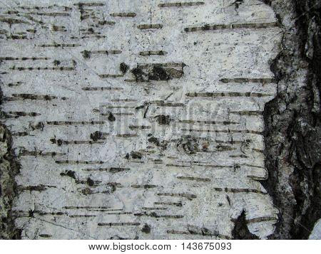 Birch bark black and white texture background