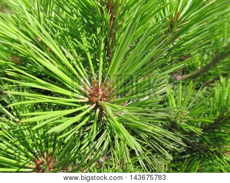 Fresh vivid green  pine needles close up macro