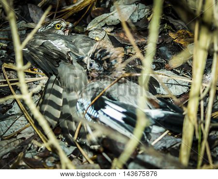 Female sparrow hawk eating wood pigeon prey on grass,