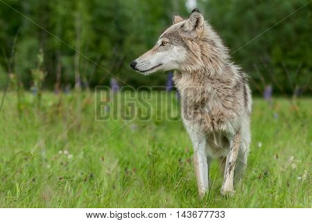 Grey Wolf (Canis lupus) Looks Left in Field - captive animal