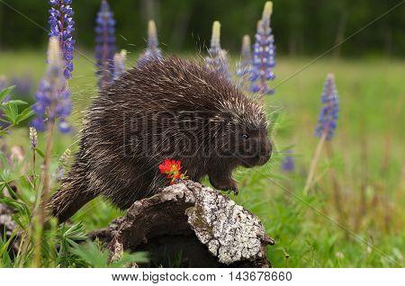 Porcupine (Erethizon dorsatum) Peers Right on Log - captive animal