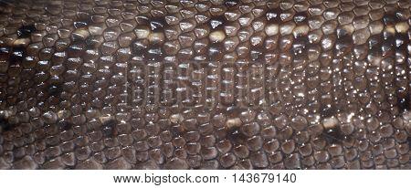 skin of lizard closeup natural texture background