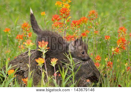 Red Fox (Vulpes vulpes) Kit Balances on Log - captive animal