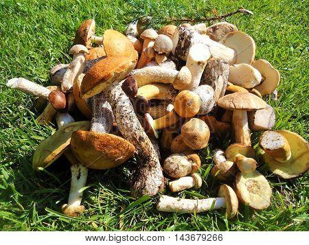 Forest gifts - fresh edible mushrooms: cap boletus, krasnogolovik, leccinum, lektsinum, boletus,