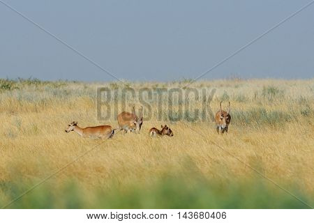 Critically endangered wild Saiga antelopes (Saiga tatarica) in morning steppe. Federal nature reserve Mekletinskii Kalmykia Russia August 2015
