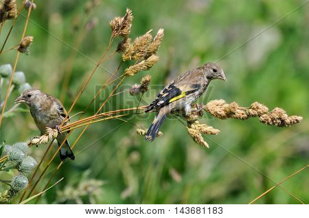 Two perching juvenile Goldfinches (Carduelis carduelis) eat grass seeds. Moscow region Russia