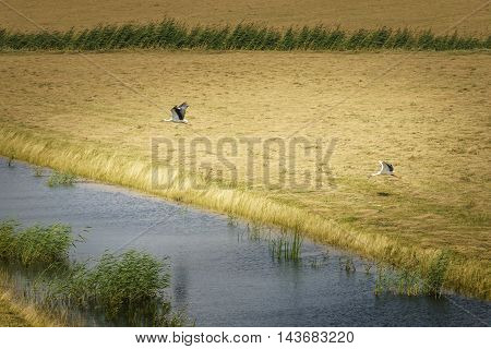 Storks in flight in the national park the Biesbosch in Dordrecht