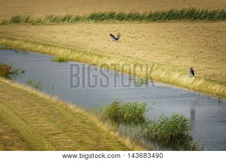 Storks in flight in the National park the Biesbosch