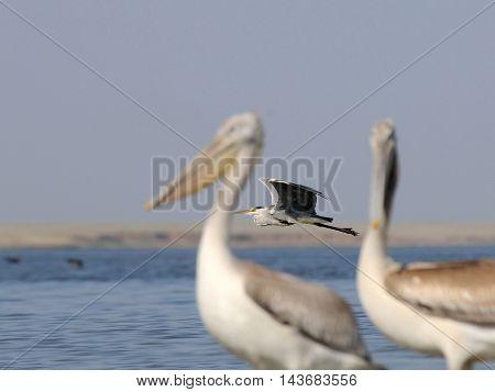 Grey Heron (Ardea cinerea) between Dalmatian Pelicans (Pelecanus crispus) at Manych lake. Kalmykia Russia