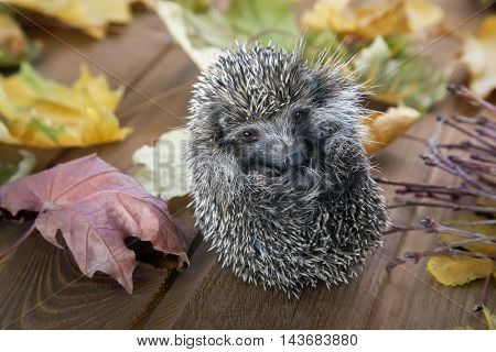 Young hedgehog sit in autumn leaves on the wooden floor