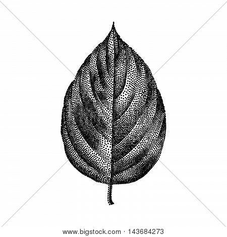 Engraving Poplar Leaf Hand Drawn Vector Illustration
