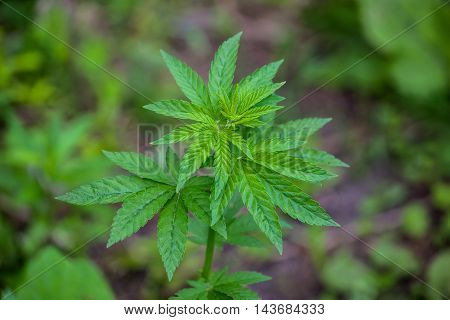 Young bush cannabis plants growing in a field. close-up