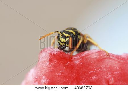 striped wasp sitting on a piece of watermelon and eats