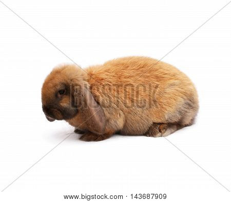 Purebred rabbit french sheep color madagascar on white cloth