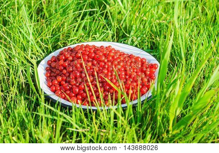 ripe red currant berries in a deep plate on dreen grass outdoor closeup