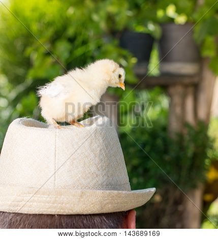 Baby chicken standing on a persons head