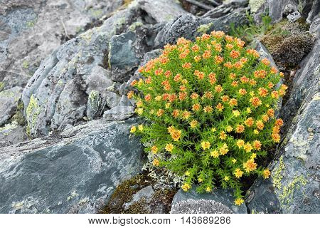Alpine flowers in Altai Mountains, Russian Federation