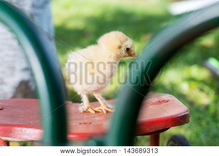 Baby Chicken On Toy Bicycle Seat