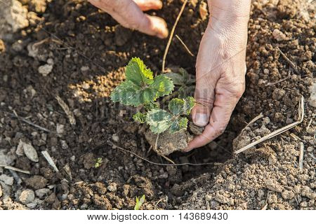 Woman hands planting small plants in the garden in spring