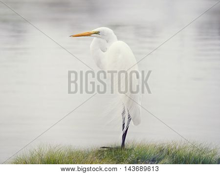 Great White Egret near lake
