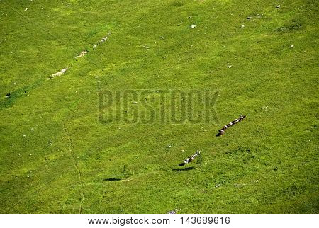 Horses in Altai Mountains, Russian Federation