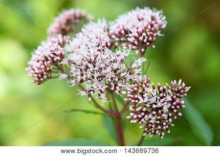 Flowers of a hemp agrimony (Eupatorium cannabinum)