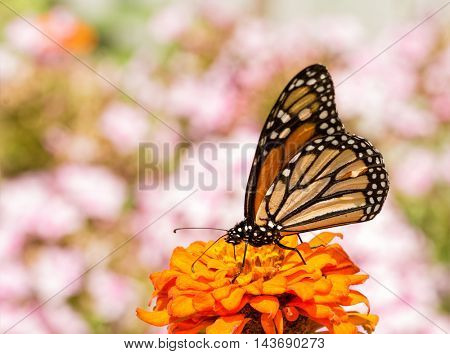 Danaus plexippus, Monarch butterfly, on an orange Zinnia flower, framed by pink Phlox blooms on the background