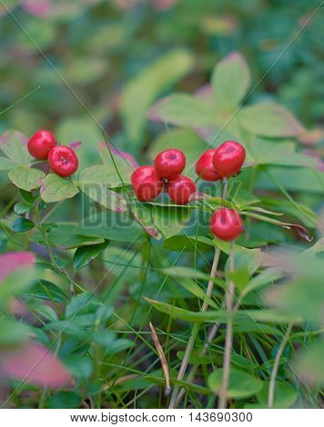 Green carpet of autumn. With red drawing of berries