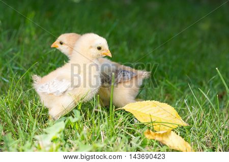 Baby chickens walking on green grass in garden