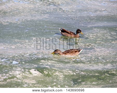 Wild ducks on the surface is very dirty water.