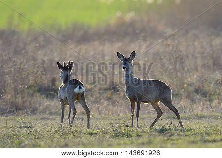 Beautiful young deer (Cervidae) in natural habitat